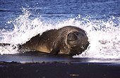 Male Southern elephant seal in wave foam Crozet