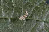 Larve de Scaphoideus parasitée par Esagonatopus France