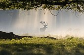 Male Red deer and hinds in fog at daybreak Dyrhaven park
