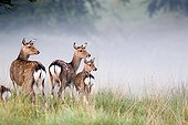 Young hinds at daybreak Dyrhaven park Denmark