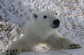 Jeune ours polaire curieux debout appuyé contre un mur ; Localité : Tundra Buggy near Churchill, northern Manitoba, Hudson Bay.