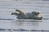 Ours polaire mâle s'étirant sur la glace avant de s'endormir ; Localité : Churchill, northern Manitoba, Hudson Bay.