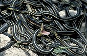 Red-sided Garter Snake after the hibernation Canada