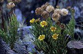 Golden Samphire growing on rocks Ouessant island ; Flower gathered by Honey bee of Bretagne.