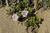 Sea Bindweed in the sand Lorient littoral France ; Plants of the white dune, fixing the sands transported by the wind.