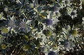 """Seaside eryngo at the Sillon de Talbert Côtes d'Armor France ; Plant protected. In the migratory dunes or """"degraded"""" parts of the Atlantic dunes of the Regional Nature Reserve."""