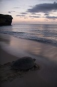 Green sea turtle coming back to sea after laying eggs Oman ; Ras al Had beach.