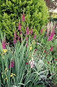Flower massif front of Gilded Cypress Seine Maritime France ; At the Annabelle Garden. <br>@ Gilded Cypress <br>