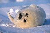 Jeune Phoque du Groenland couché dans la neige Groenland ; Mer de Barents. Golfe de St. Lawrence, Mer de Barents.