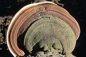 Champignon polypore en sous-bois Forêt Atlantique Brésil