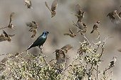 Glossy-Starling and Queleas National park of Etosha Namibia