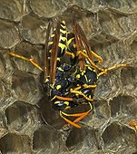 Trophallaxis between two European Paper Wasps New York USA ; Introduced to Boston area from central Europe in 1980's. It presently occurs coast to coast in the USA where itdisplaces native species.