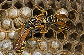 Trophallaxis between two European Paper Wasps New York USA ; Introduced to Boston area from central Europe in 1980's. The species presently occurs coast to coast in the USA where itdisplaces native species.