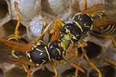 Trophallaxis between two European Paper Wasps New York USA ; A male (right) is fed by a female (left).<br>Introduced to Boston area from central Europe in 1980's. The species presently occurs coast to coast in the USA where itdisplaces native species.