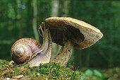 Snail eating an hornbeam Boletus Lorraine France