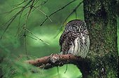 Pygmy owl resting on a branch Bavaria Germany