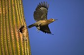 Gila Woodpecker at nest in Saguaro blossom Arizona USA ; Gila Woodpecker feeds on nectar and insects in the Saguaro cactus blossom and makes holes in Saguaro cactus for their nests.