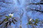 Fleurs d'Anémone des bois Vallée du Doubs France