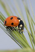 Sevenspotted lady beetle eating an Aphid on a Barley's ear