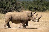 White rhinoceros in a breeding in Kenya