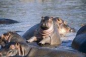 Young Hippopotamus on adult back in water Tanzania