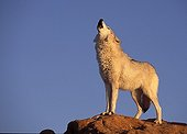 Wolf howling on a rock the USA