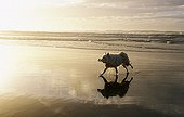 Dog bringing back an object while running on the beach ; Game and training of the dog to bring back an object.