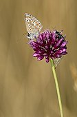 Brown Argus gathering nectar from a garlic Lot France