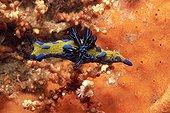 Nudibranch on a coral reef Port Stephens Australia