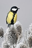Great Tit posed on frosen teasels France