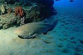 Zebra-shark resting on sea bottom Mozambique