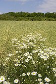 Disc Mayweed in a field of Turnip France