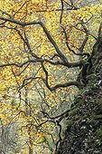Common Beech in gorges of Audeux France