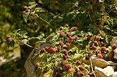 Variété hybride de framboise et mûre au jardin potager