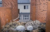Chick and sterilized eggs of Herring Gull Brest France