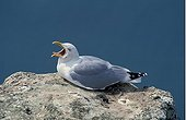 Herring Gull with the nest on rock shore Brittany France