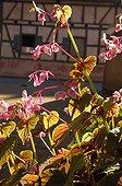 Bégonia rustique en fleur dans un jardin d'Alsace