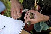 Tagging of Great Reed Warbler Vaucluse France ; Etang de Courthézon, site managed by the Conservatoire-Etudes des Ecosystèmes de Provence.<br>Bird tagging is controlled by the Centre de Recherche sur la Biologie des Populations d'Oiseaux, with people having a permit.