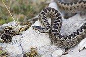 Orsini's Viper in defense attitude Mont Ventoux France