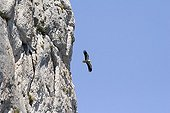 Egyptian Vulture flying over Falaises de Montmirail Vaucluse