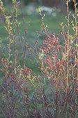 Fruits et branches de rosiers botanique de Virginie France