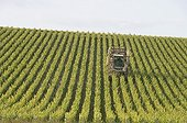Mechanized stripping of the rows of vine Champagne