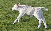 Charolais calf running in grass France