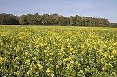 Champ de moutarde en culture dérobée France ; Culture dérobée ou engrais vert.
