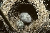 Egg of common Cuckoo in a nest of Reed Warbler France