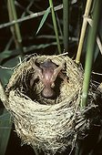Young Cuckoo ejecting of the nest eggs remaining France