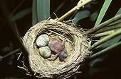 Young Cuckoo and eggs of Reed Warbler France