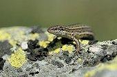 Viviparous lizard France