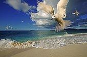 White Tern and Tropical beach Cousine Island  Seychelles ; Digitally modified image