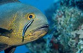 Cleaner wrasse cleaning Midnight Snapper Ari Atol Maldives